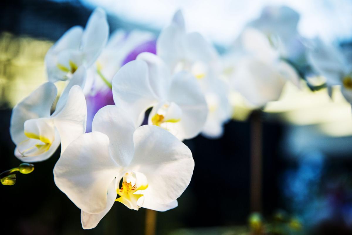 NO.Orchid_SG_7.jpg (copy)