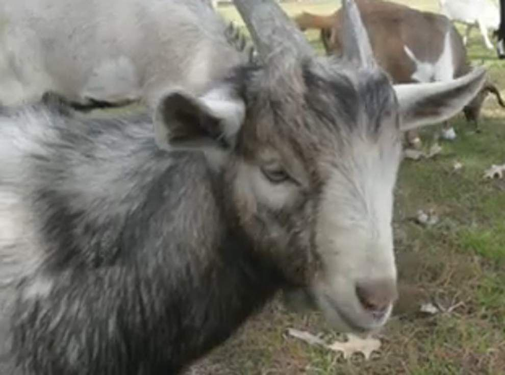 Baby goat found beheaded at Algiers park _lowres
