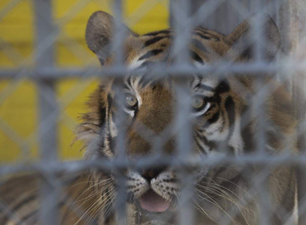 Tony the tiger to remain at Tiger Truck Stop in Grosse Tete for now after judge dismisses lawsuit _lowres