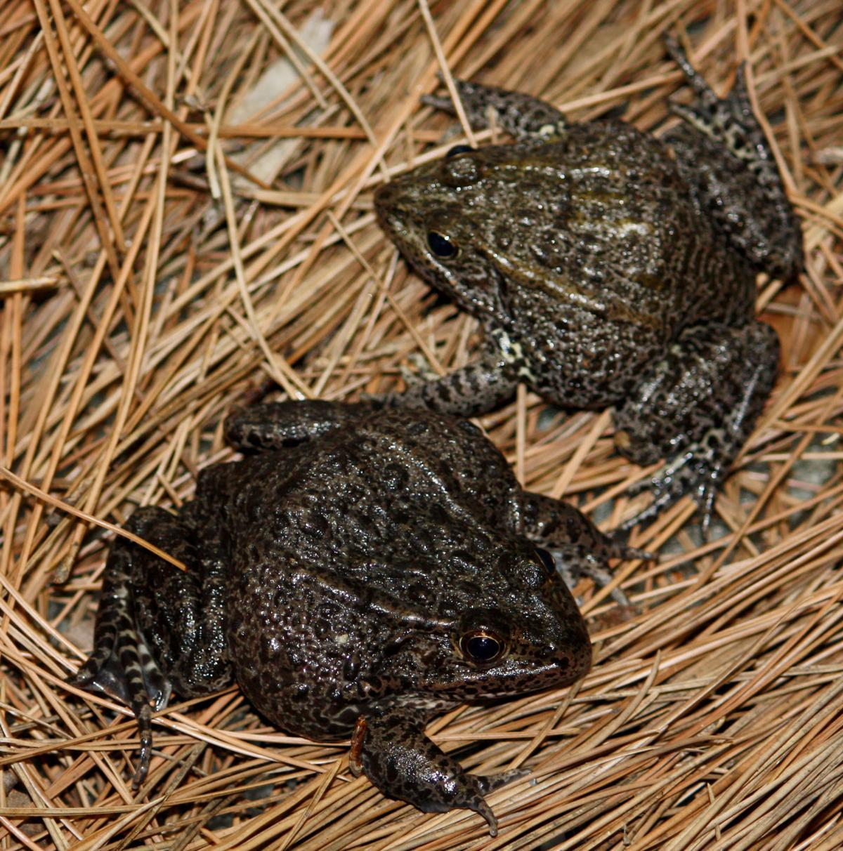 NO.gopherfrog.090417.JPG
