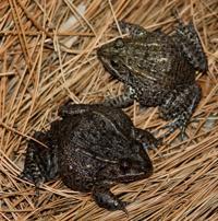 Supreme Court hops into case of endangered frog gone from