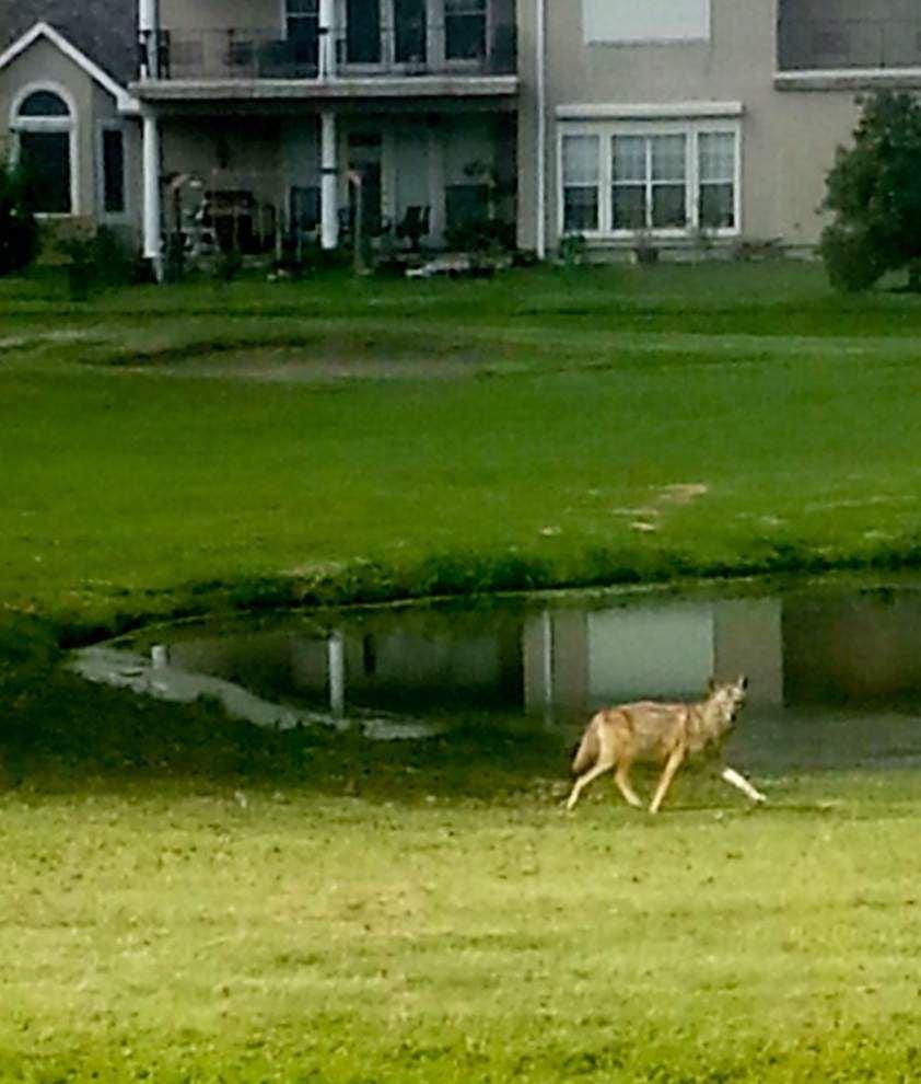 Coyote problem in upscale Stonebridge subdivision in Jefferson Parish upsets residents _lowres