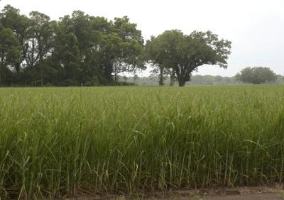 BR.sugarcanestock.adv