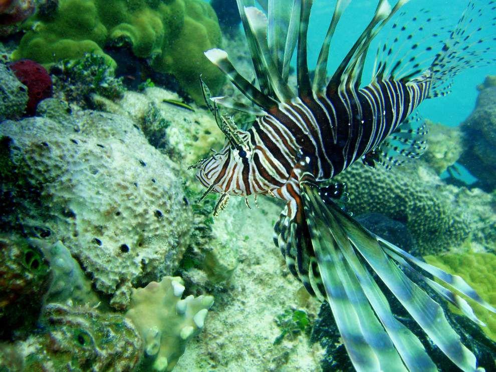 Florida puts bounty on invasive lionfish _lowres