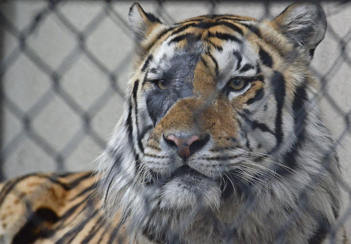 photos radiation burn visible on mike the tiger s face after cancer