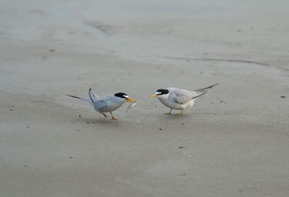Be careful where you step at the beach, it's peak nesting season for birds along coastal Louisiana _lowres