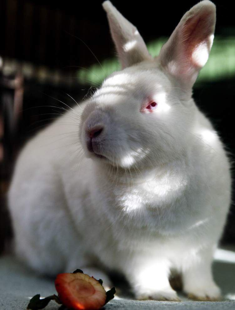 To the rescue: Easter is a trying time for rabbit shelter's owner _lowres