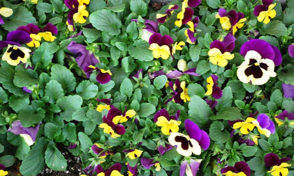 A blooming party  Let nature help with Carnival decorations by planting colorful pansies, violas _lowres