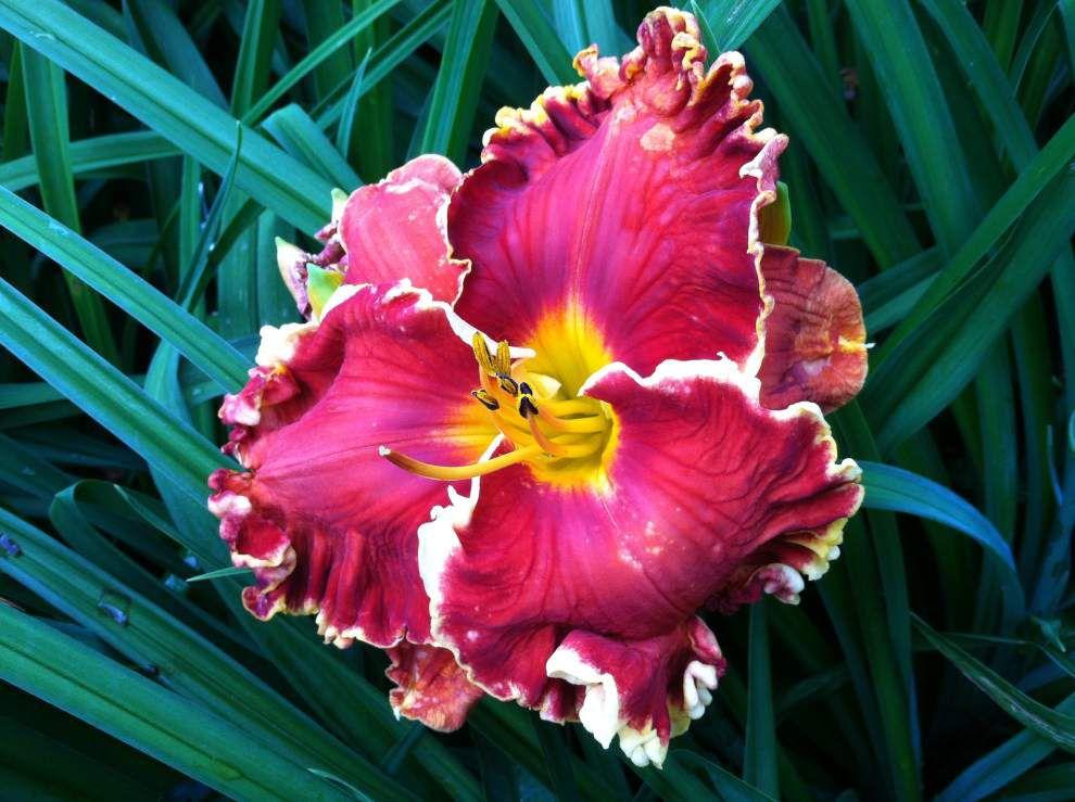 Daylily hybrids enchant Covington gardeners _lowres