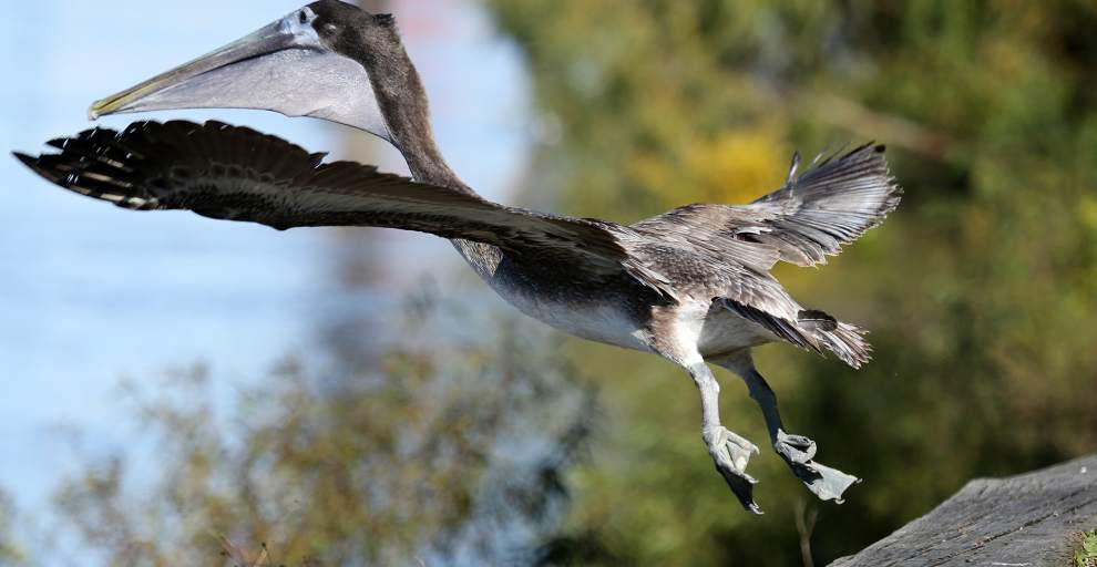Photos: Rescued brown pelican released back into wild at Riverside Park in New Orleans _lowres