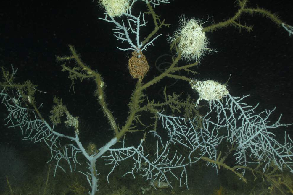 Spill study shows more extensive coral damage _lowres