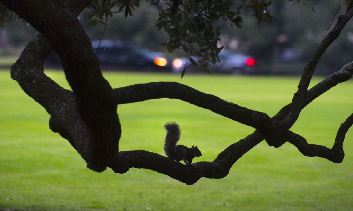 oak tree(copy)