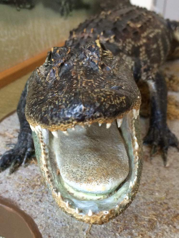 Dragons in Paradise: Alligators get their due in new exhibit _lowres