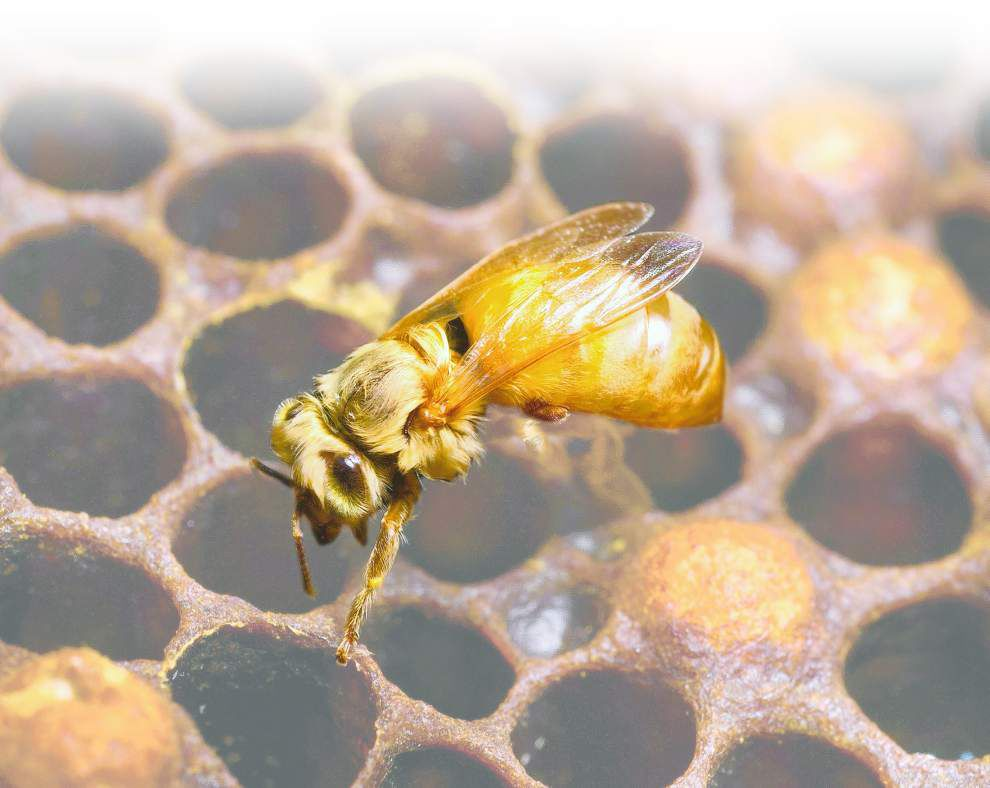 Some Louisiana veterans find a sweet spot working with honey bees _lowres