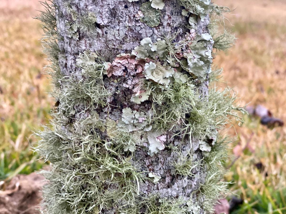 Lichens come in three different forms..jpg