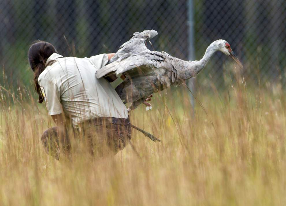 Photos: Sandhill cranes raised at West Bank center released to National Wildlife Refuge _lowres