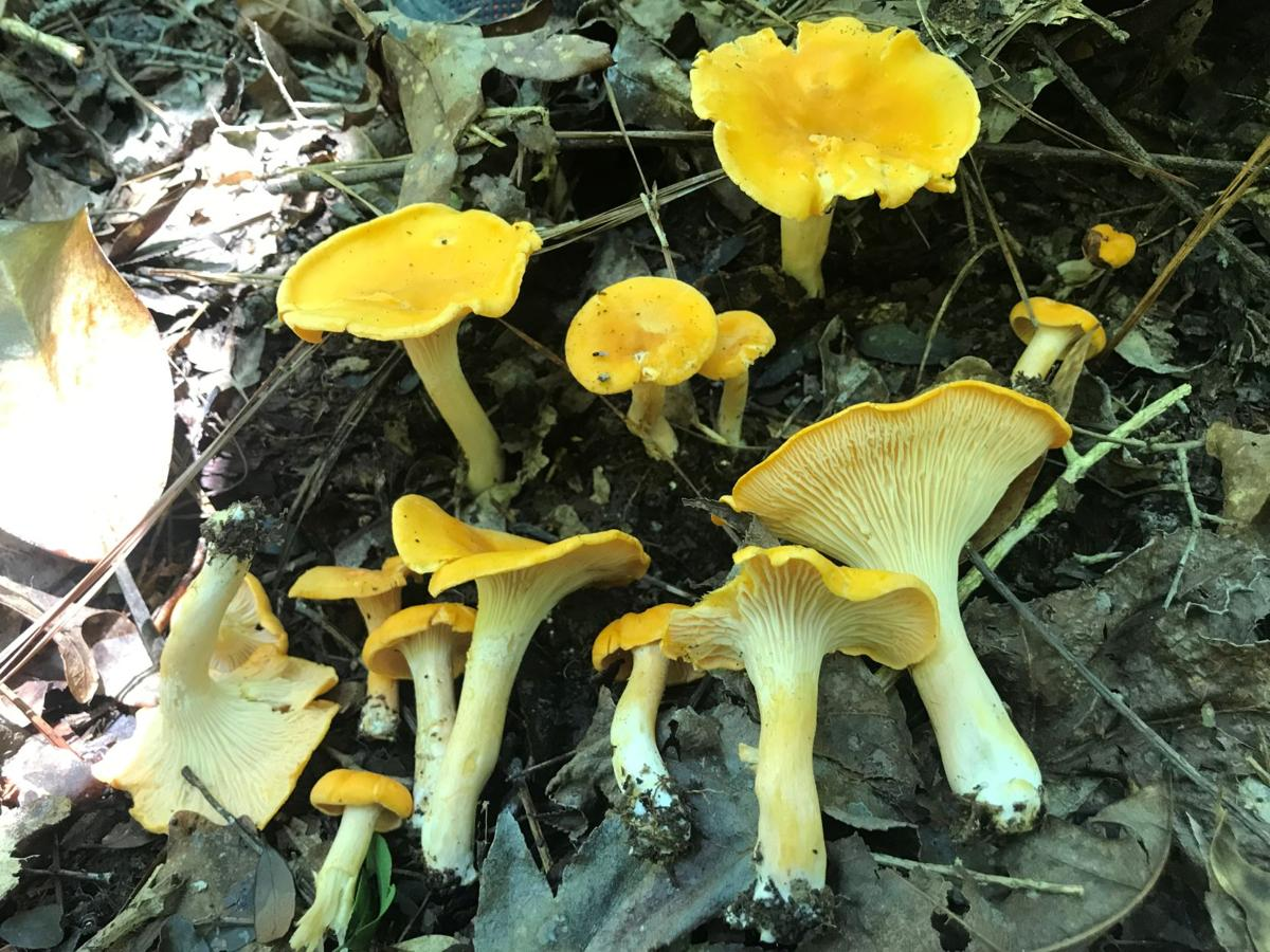 Mushroom Hike Turns Up All Kinds Of Fungi Some Of Which Are Quite Delicious Entertainment Life Theadvocate Com
