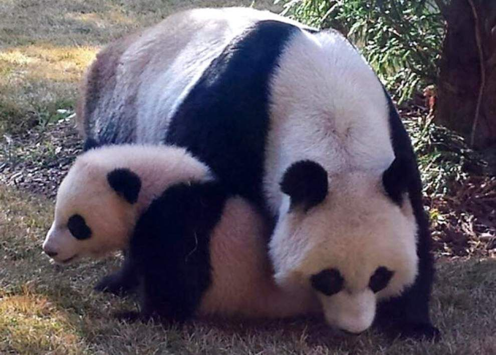 National Zoo: Panda cub went outside for 1st time _lowres