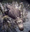 Ponderosa stomps, Alligator chomps_lowres