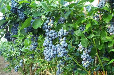 Blueberry Treejpg.jpg