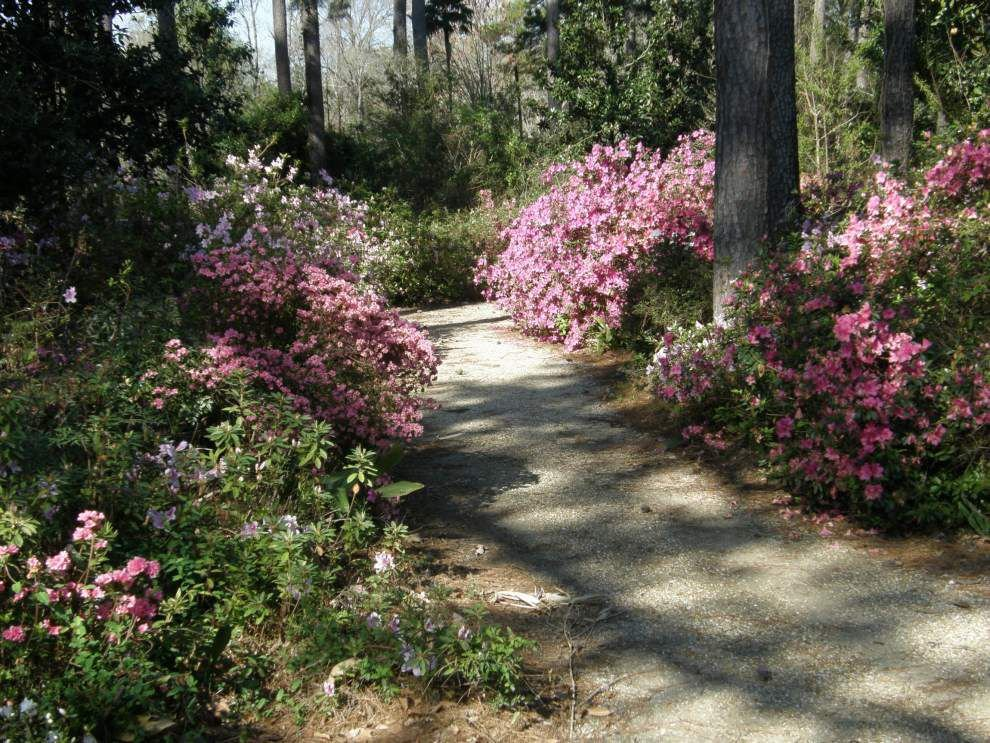 Variety of azaleas recommended for landscapes _lowres