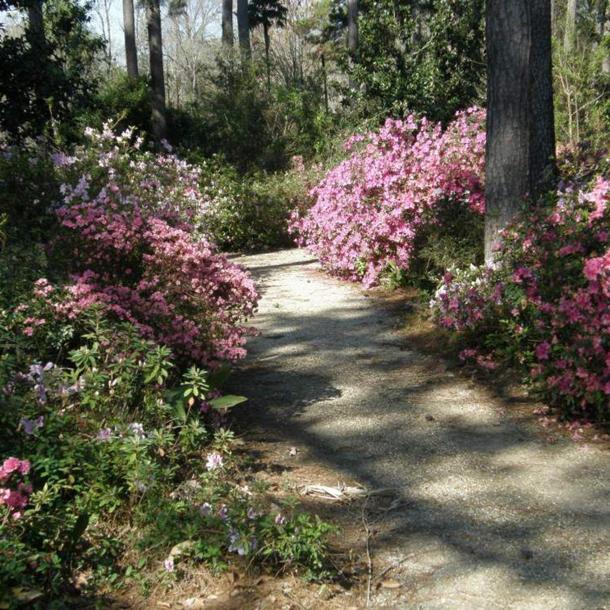 Variety Of Azaleas Recommended For Landscapes Entertainment Life Theadvocate Com