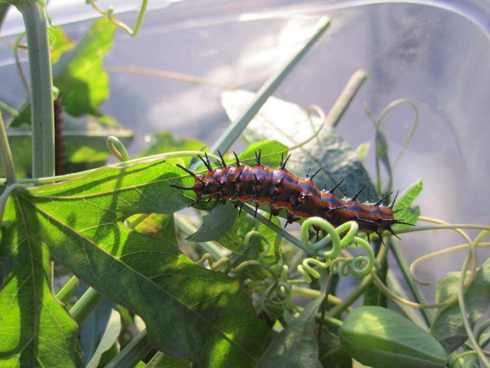 Woman drawn to raising Monarch butterflies _lowres