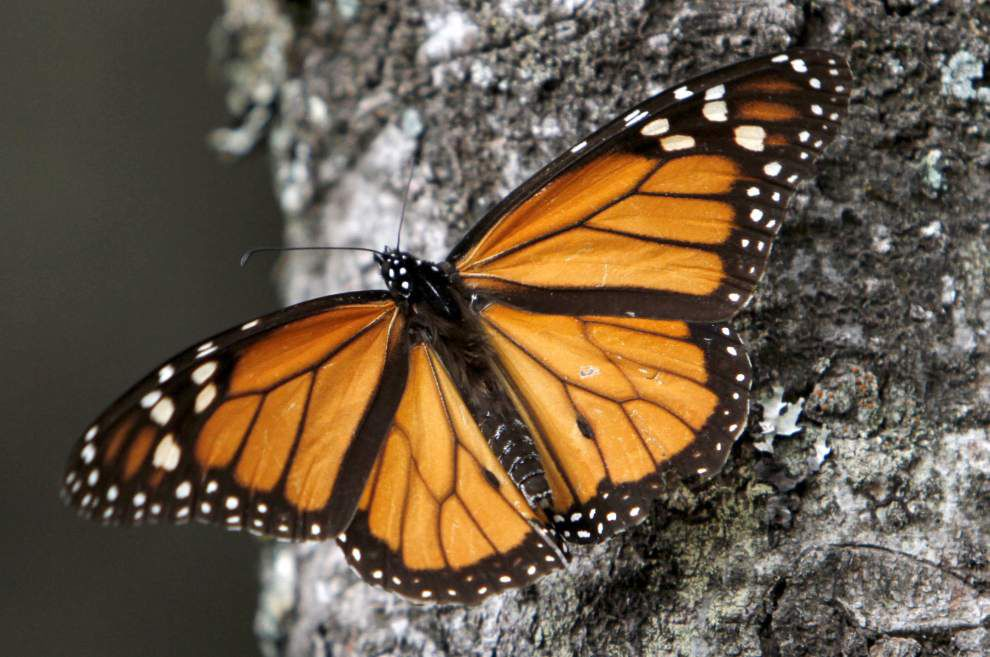 In the shadow of its chemical plant in Geismar, BASF creates a habitat for endangered monarch butterflies _lowres