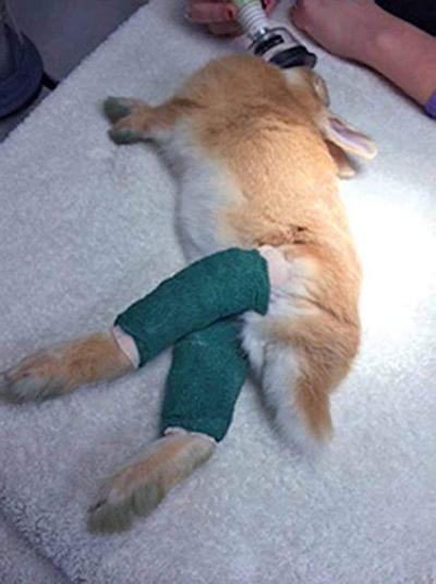 Metairie clinic takes in abandoned, injured rabbits _lowres