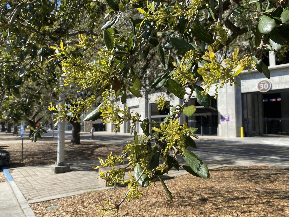 When shedding leaves, live oaks simultaneously produce catk.JPG