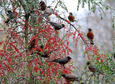 American Robin on native holly. Photo credit to Norman Win.jpg