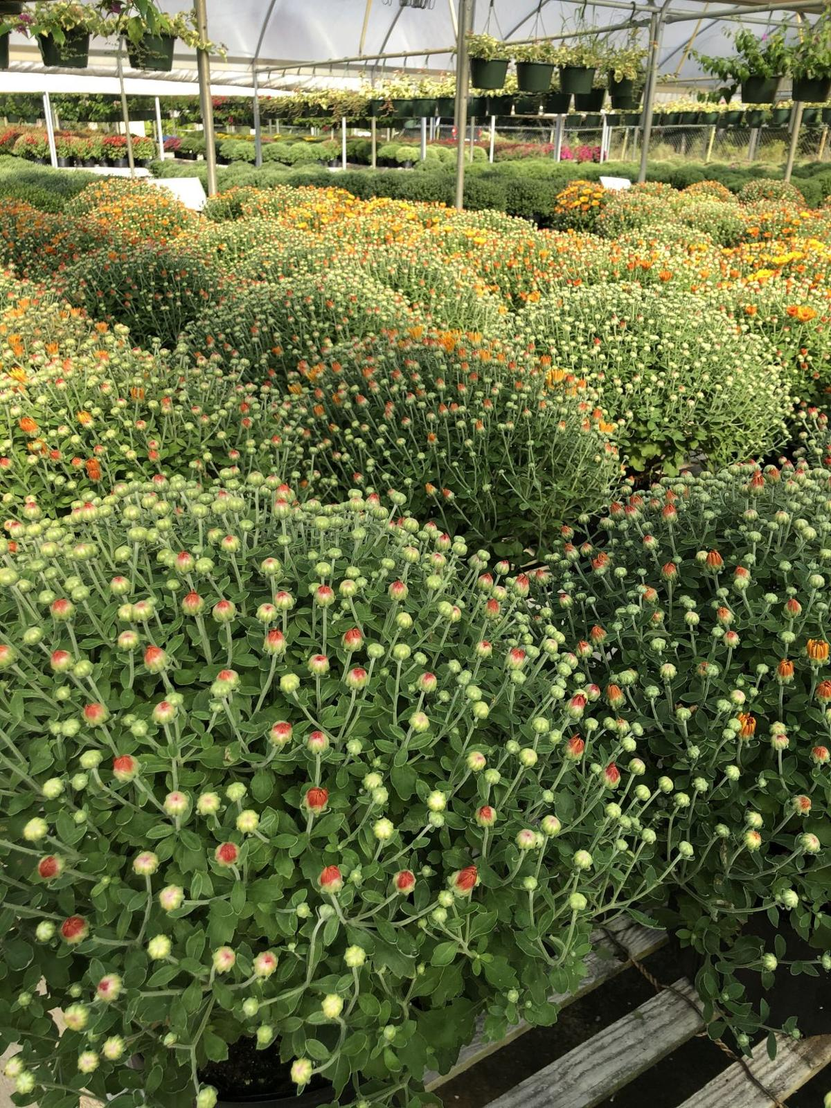 Select mums with closed buds for an extended bloom time pho.jpg