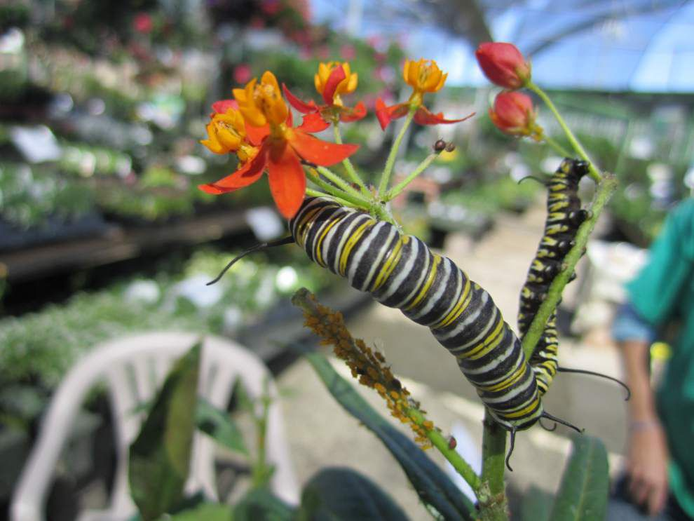 Woman Aims To Increase Monarchs Lowres