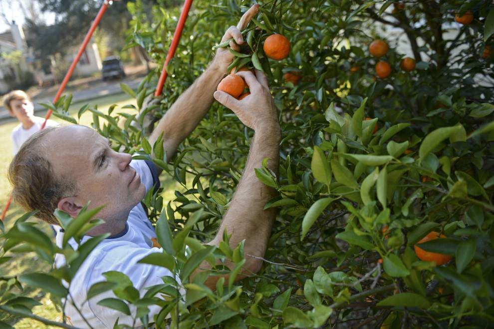 Being fruitful: Baton Rouge Green asks citrus tree owners to share excess fruit _lowres