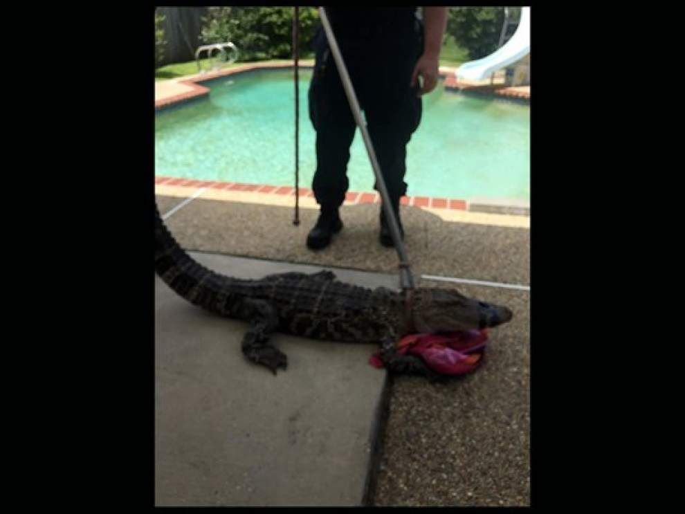 Report: Poolside gator found in Algiers backyard, 'I just wanted it gone' _lowres