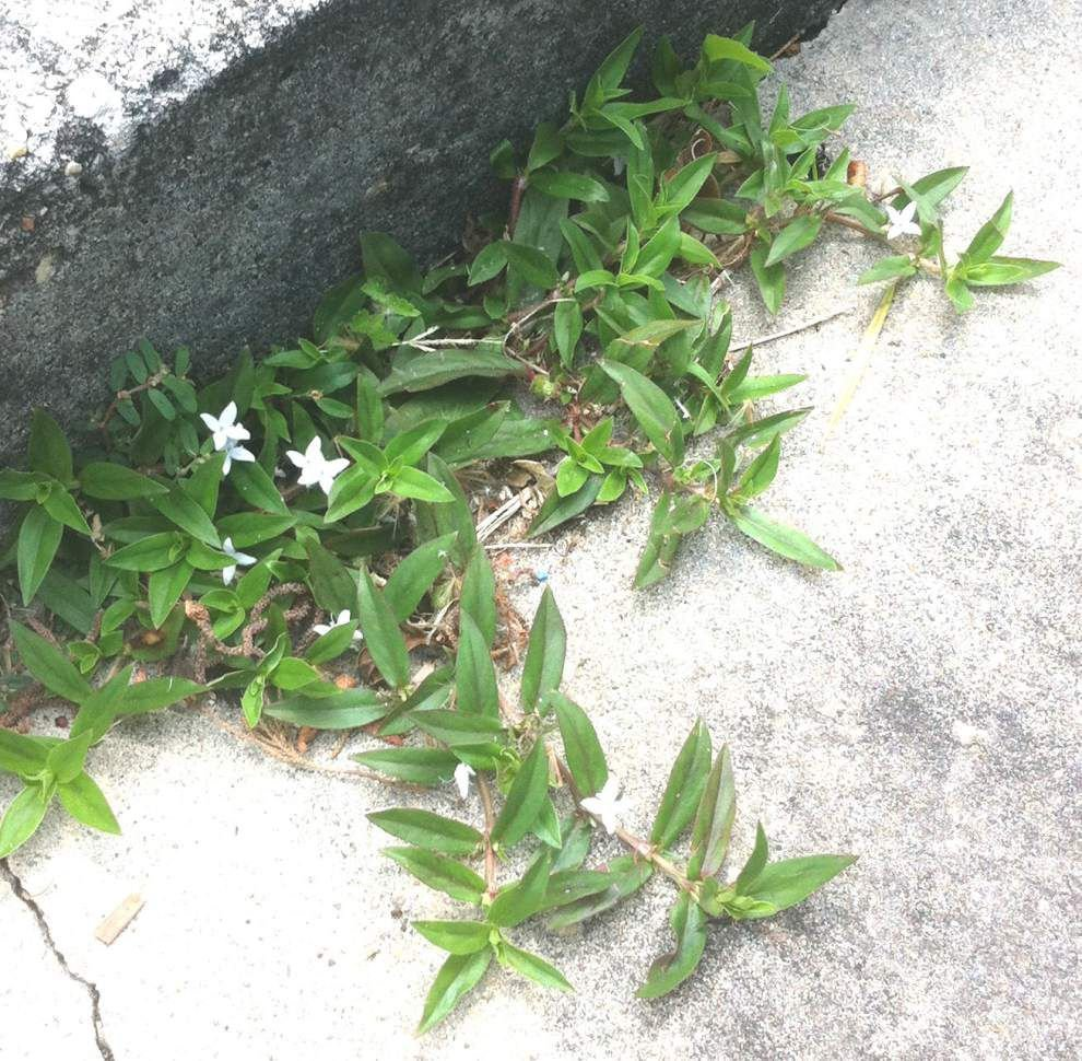 Garden News: Controlling weeds in late summer can be tough _lowres