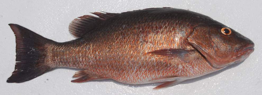 Watson angler caps offshore trip with unusually colored mangrove snapper _lowres