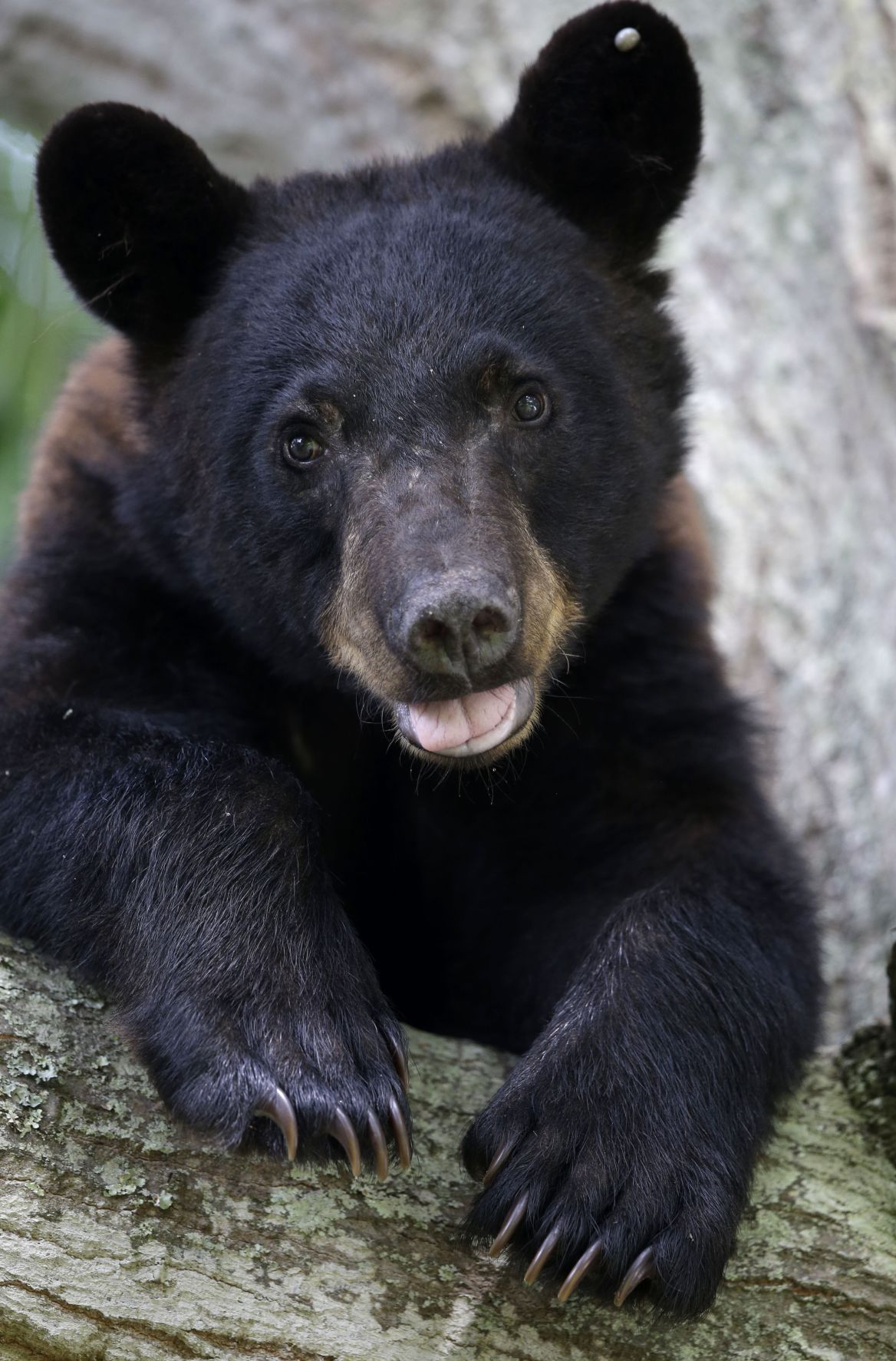 Bears Threatened for RED 051719