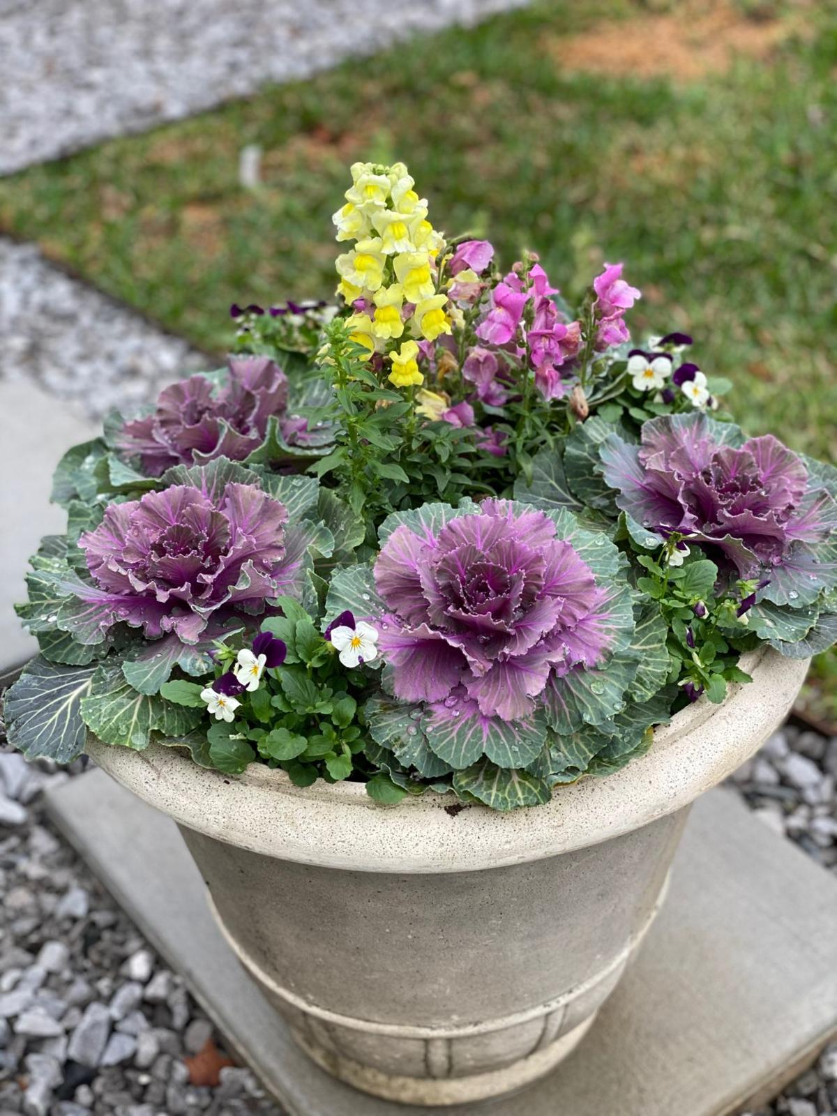 Ornamental kale, snapdragons and sorbet violas make a dazzl.JPG