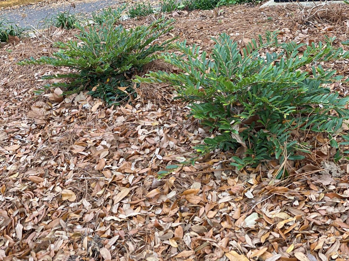 Leaf litter can be utilized as a sustainable mulch option f.jpg