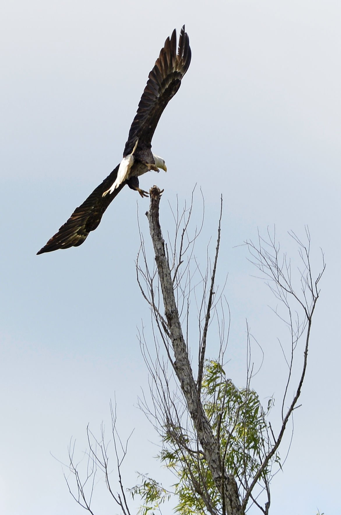 Louisiana S Bald Eagle Population Soaring Again After Years On The Brink Environment Theadvocate Com
