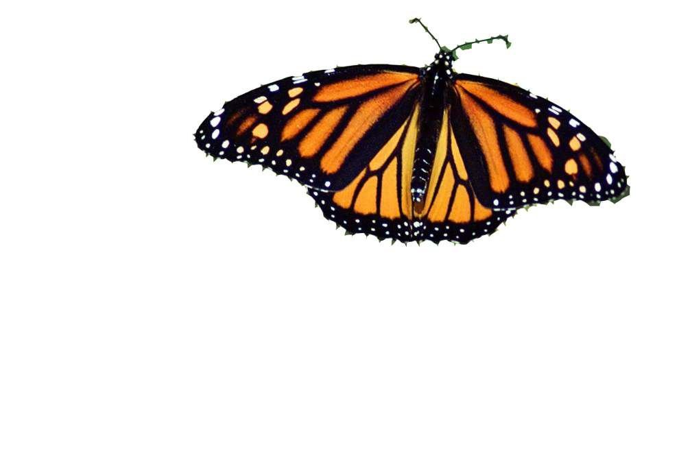 Our Views: La. hosts a butterfly with dwindling population, the Monarch butterfly _lowres