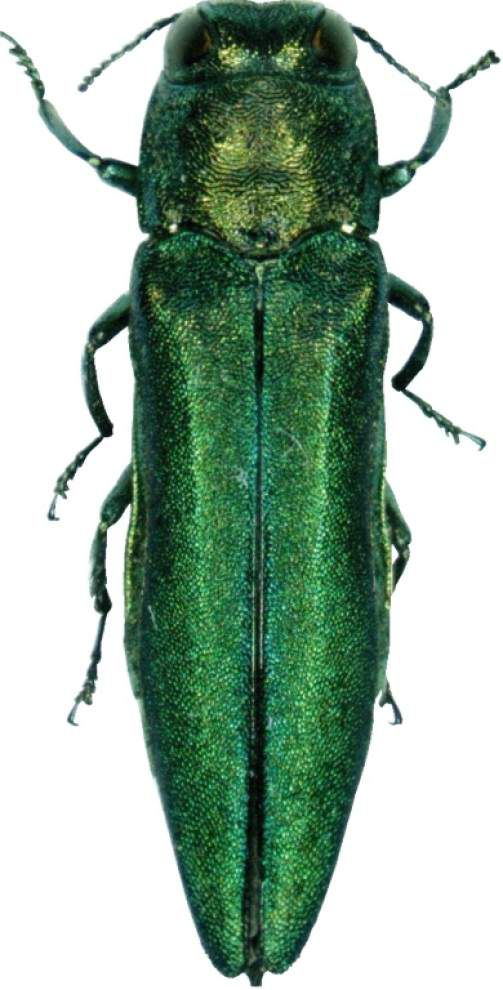 Emerald ash borer found in Webster Parish, causing problems with ash tree population _lowres