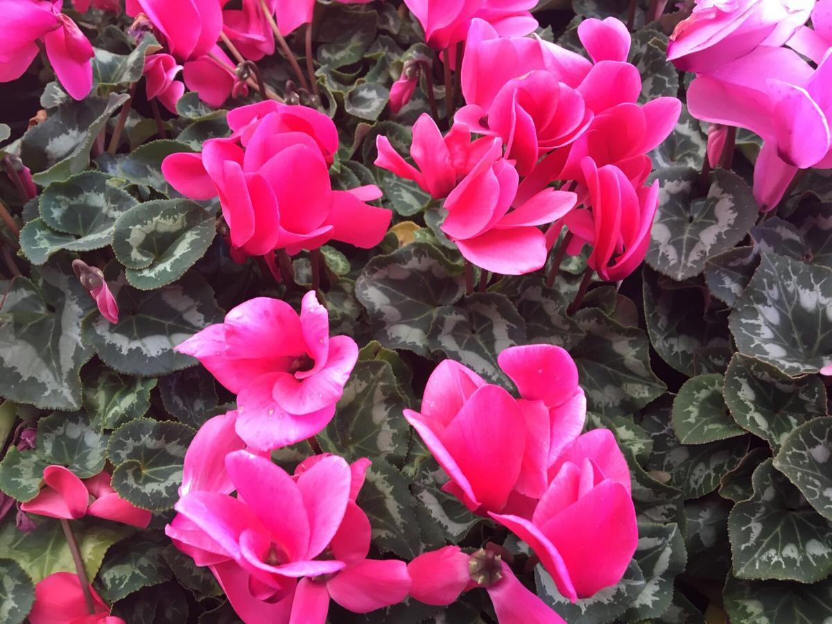 Cyclamen have heart-shaped flowers..JPG