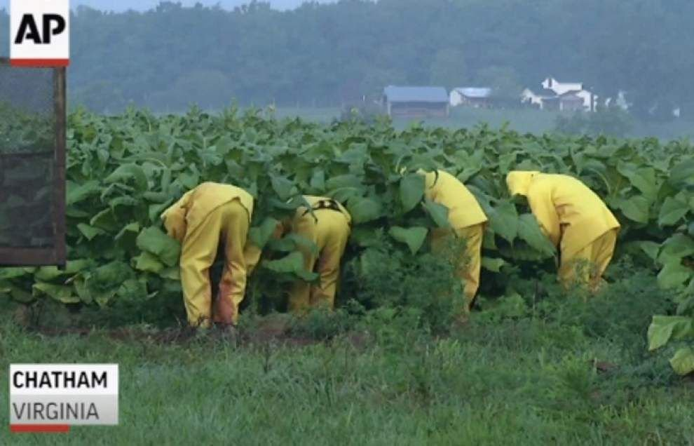 Some tobacco farmers thrive amid challenges _lowres