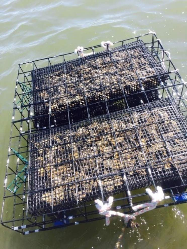 Can we build a better oyster? New Orleans farmers market to showcase oyster designed to be in its prime during summer _lowres