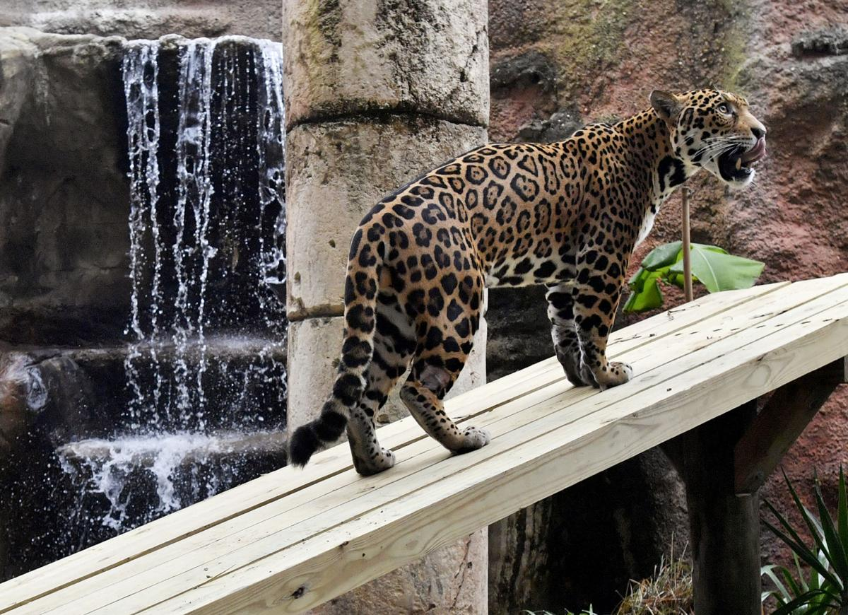 NO.jaguarreopens.020619.00007.JPG