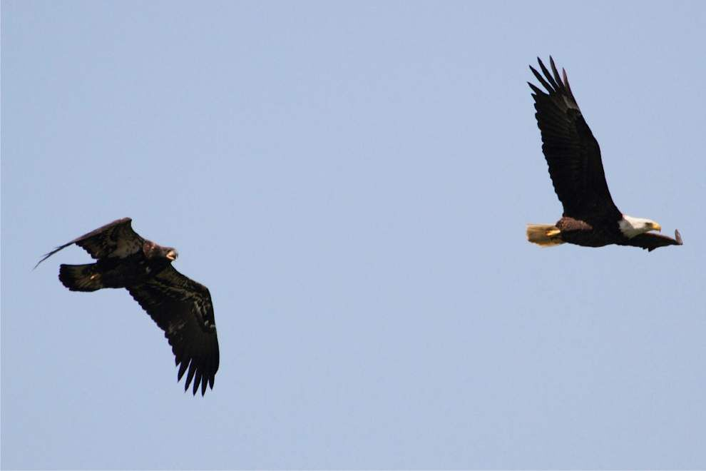 Researcher Finds Louisiana Eagles Cool Off In Canada News Theadvocate Com