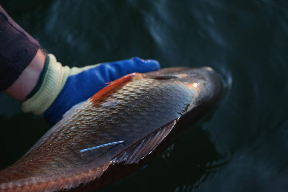 Louisiana Department of Wildlife and Fisheries project studies fish movements _lowres