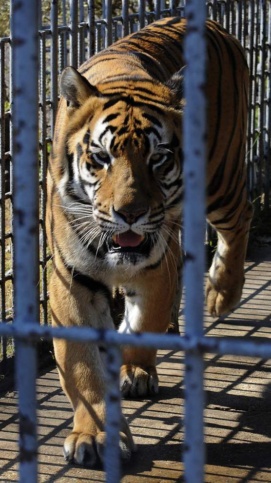 Bill moves forward to let tiger stay put _lowres